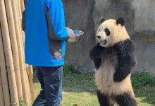صورة الباندا تدعي الحمل.. وحقائق عجيبة عن البشر والحيوانات